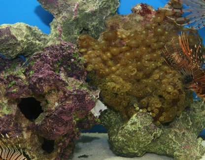 Coral base rock with coralline algae
